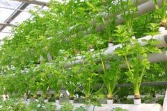 Soilless odling av gröna grönsaker Fotografering för Bildbyråer