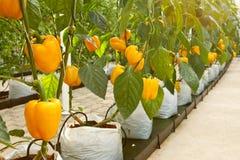 Soilless plantation technique Stock Images