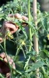 Soin de plantes de tomate photo stock