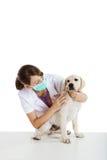 Soin de prise vétérinaire d'un crabot Image libre de droits
