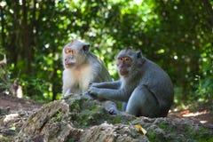 Soin de singes l'un pour l'autre Photos stock