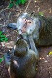 Soin de singes l'un pour l'autre Photos libres de droits