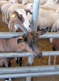Soin des moutons dans le corral à une ferme Photos libres de droits