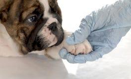 Soin vétérinaire Image libre de droits