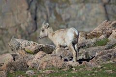 Soins d'agneau de Bighorn Photographie stock libre de droits