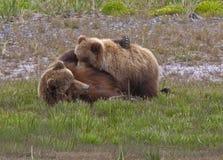 Soins d'Alaska de truie et d'animal d'ours brun Image stock