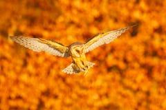 Soirée d'automne avec le hibou Hibou de grange gentil de débarquement dans la lumière orange gentille Forêt d'automne avec le bel photo stock