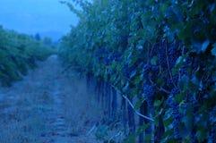 Soirée dans la vigne Photo stock