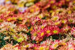 Soirée de Kmepenya de saveur de fleur de Ramat de morifolium de chrysanthème Utilisé comme sédatif Image libre de droits