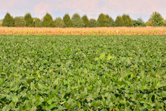 Soja Bean Plant Field Images libres de droits