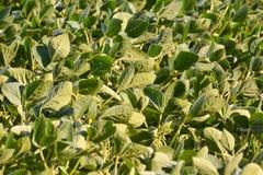 Soja Bean Plant Field Photographie stock libre de droits