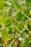 Soja (glycine maximum) Images stock