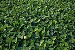 Soja vert crops_2 Images libres de droits