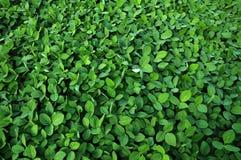 Soja vert crops_6 Image libre de droits