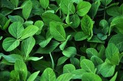 Soja vert crops_3 Image stock