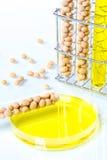 Sojaböna som ändras genetiskt, växtcell Fotografering för Bildbyråer
