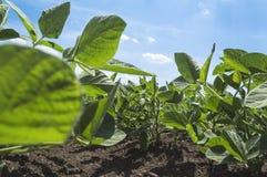 Sojabönafält i jordbruks- fält Royaltyfri Bild