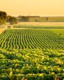 Sojabönafält i South Dakota arkivfoto