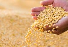 Sojabönan kärnar ur i händer av bonden Arkivbild