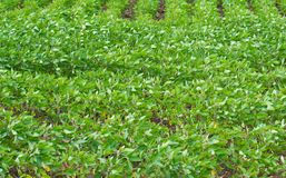 Sojabönaskördfält royaltyfri fotografi
