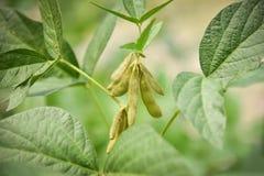 Sojabönaväxt på trädet arkivbild
