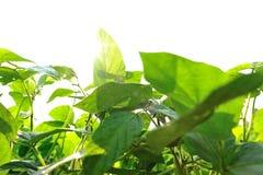 Sojabönaväxter fotografering för bildbyråer