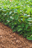 Sojabönaväxter i kultiverat jordbruks- fält Arkivfoton