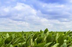 Sojabohnenöl Bean Field Lizenzfreies Stockbild