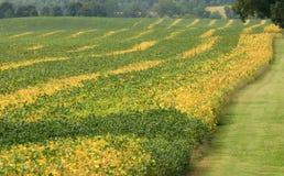 Sojabohnenöl-Feld Stockfoto