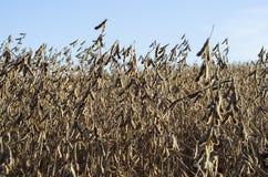 Sojabohnenölanlagen auf dem Herbstgebiet lizenzfreies stockbild