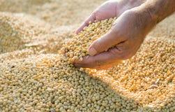 Sojabohnenölbohnen nach Ernte lizenzfreies stockbild