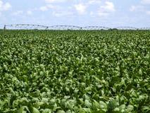 Sojabohnenölfeld Lizenzfreies Stockfoto