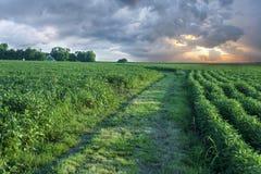 Sojabohnenölfeld mit Reihen von Sojabohneanlagen lizenzfreie stockfotografie