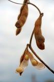 Sojabohnenölhülse auf einem Gebiet betriebsbereit zu ernten Lizenzfreie Stockfotos