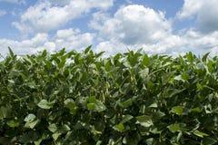 Sojabohnen, die auf dem Gebiet wachsen Lizenzfreies Stockfoto