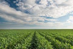 Sojabohnen-Feld stockbild