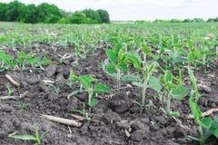 Sojabohnen-Feld im Sommer stockfoto