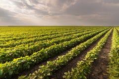 Sojabohnen-Feld-Reihen lizenzfreies stockbild