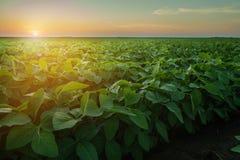 Sojabohnen-Feld-Reihen stockbild
