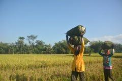 Sojabohnen-Landwirt Stockfotos