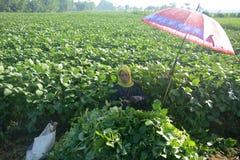 Sojabohnen-Landwirt Stockfoto