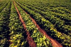 Sojabohnen-Landwirtschaft lizenzfreie stockfotografie