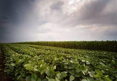 Sojabohnen- und Maisfelder, die am stürmischen Tag der Frühlings-Saison reifen Stockbild