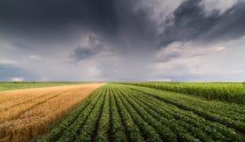 Sojabohnen- und Weizenfelder, die am stürmischen Tag der Frühlings-Saison reifen Stockfoto