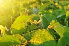 Sojabohnenanlage im warmen Licht des frühen Morgens Stockfoto
