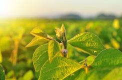 Sojabohnenanlage im warmen Licht des frühen Morgens Lizenzfreie Stockfotografie