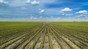 Sojabohnenanlagen am Ranchfeld lizenzfreies stockbild
