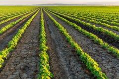 Sojabohnenfeld, das an der Frühlings-Saison, landwirtschaftliche Landschaft reift stockfotos