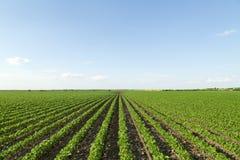 Sojabohnenfeld, das an der Frühlings-Saison, landwirtschaftliche Landschaft reift lizenzfreie stockfotos