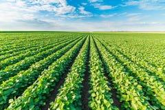 Sojabohnenfeld, das an der Frühlings-Saison, landwirtschaftliche Landschaft reift stockfoto